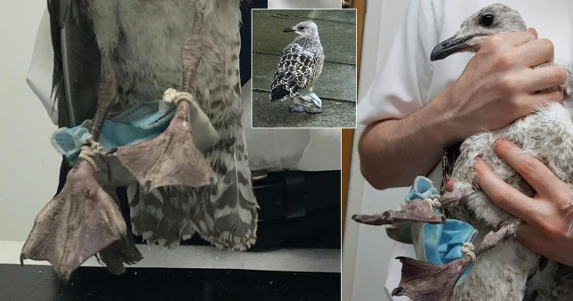 The bird was found to have a face mask wrapped around its feet