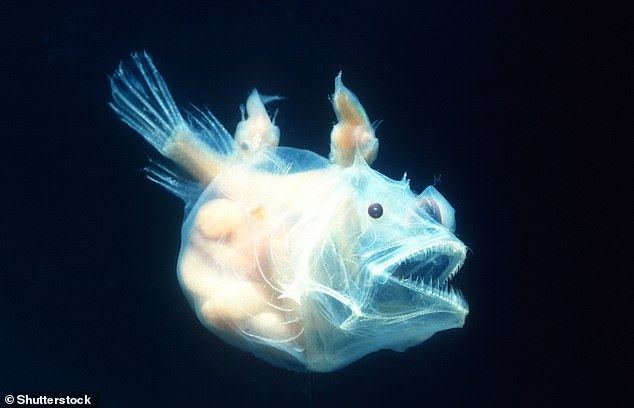 Angler fish female, of the species pisces linophrynidae, with two (yes two) males attached (top)