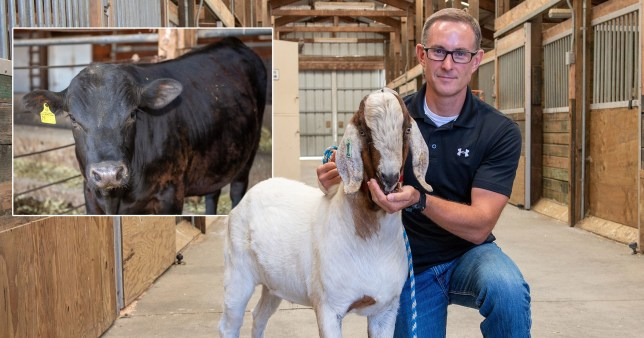 Goats and cows could become 'super Daddy' animals
