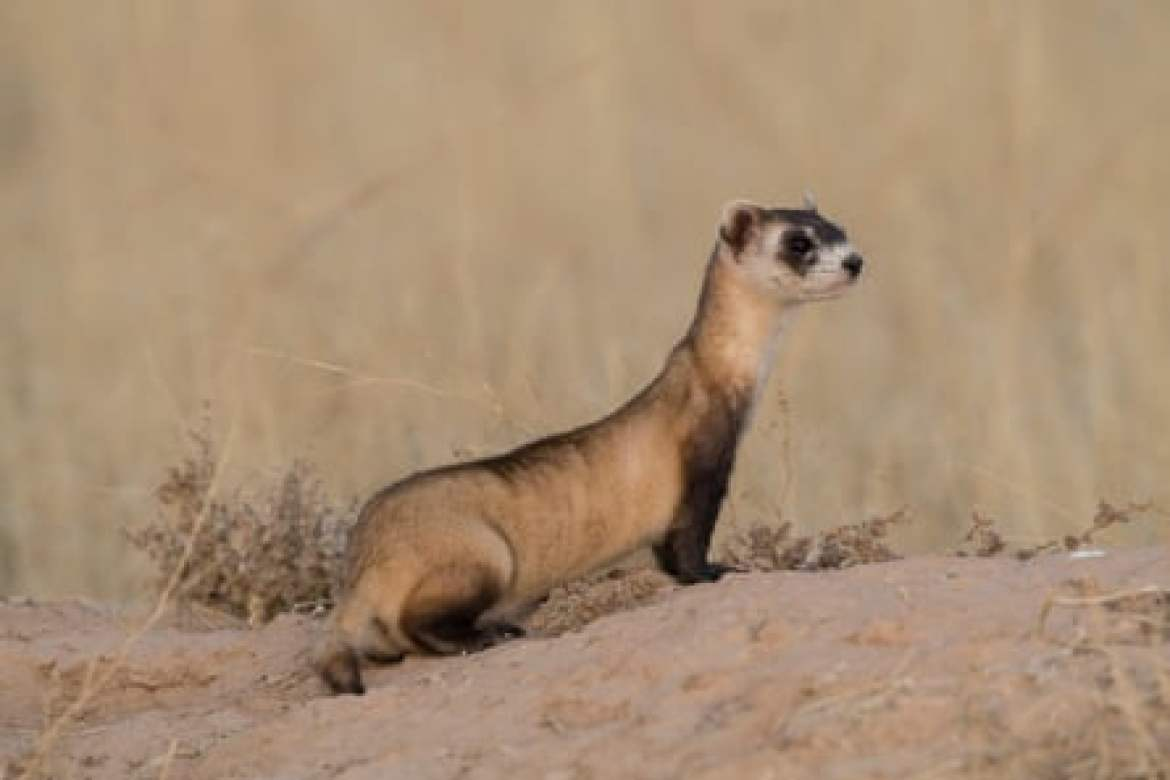 A black-footed ferret at a release site in Utah
