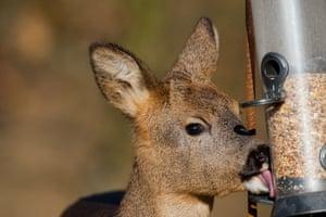 Close-up of a western roe deer (Capreolus capreolus) feeding on a birdfeeder in oak woodland.
