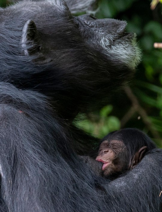 Western chimpanzee Mandy nurses her newborn baby in her enclosure at Chester Zoo. 43-year-old Mandy, who already has one daughter and two granddaughters, gave birth on August 21 and keepers at the zoo will wait for several months for the new addition to gain the confidence to explore independently before they can discover their sex. PA Photo. Picture date: Friday September 4, 2020. The Western chimpanzee is listed as critically endangered by the International Union for the Conservation of Nature (IUCN) and the Chester Zoo conservation population is vital to the future of the subspecies. See PA story ANIMALS Chimpanzee. Photo credit should read: Peter Byrne/PA Wire