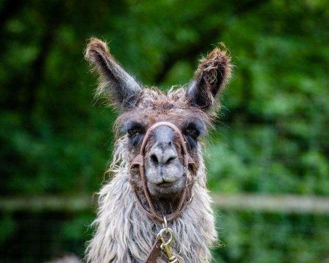 Llama trekking at the Merry Harriers, Hambledon, Surrey. llama treks from ?55.20 per adult / ?27.60 per child (aged 8-13) ? minimum age 8; merryharriers.com https://merryharriers.com/llama-treks/llama-treks-pricing/