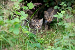 Wildcats at the farm