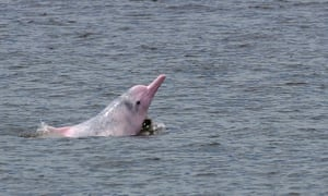 An Indo-Pacific humpback dolphin swims in waters off the coast of Hong Kong, in 2013.
