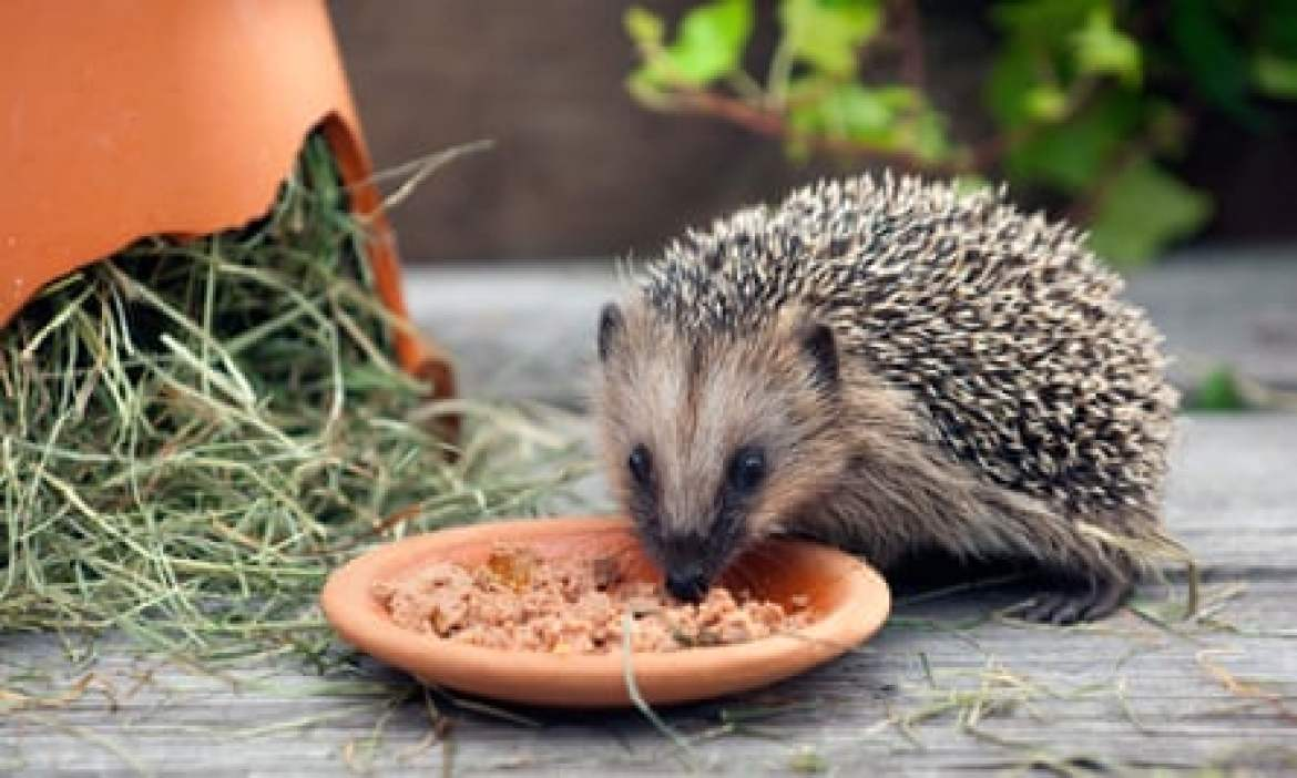 A hedgehog takes a liking to cat food.