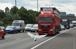 A swan holds up traffic near junction 3 of the M4 motorway, west of London, on 15 June 2011.