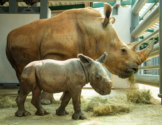 Kendi (back), an endangered white rhinoceros, bonds with her newborn male calf Oct. 30, 2020, at Disney???s Animal Kingdom at Walt Disney World Resort in Lake Buena Vista, Fla. The to-be-named rhino was born Oct. 25, 2020, at the theme park as part of a Species Survival Plan overseen by the Association of Zoos and Aquariums. (David Roark, photographer)