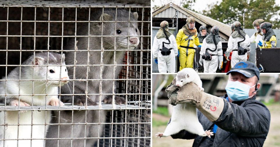 A man wearing a mask holds up a mink in his hands next to another picture of two minks peering out from inside a cage