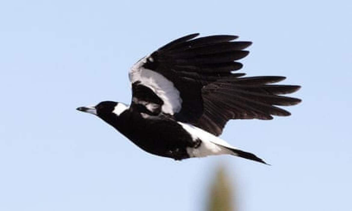 BirdLife Australia reported a 31% decline in magpie populations along the east coast.
