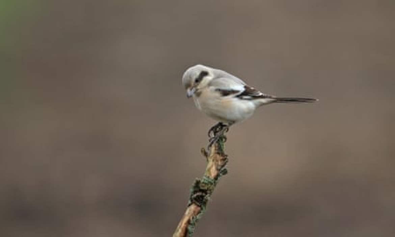 grey shrike on a twig