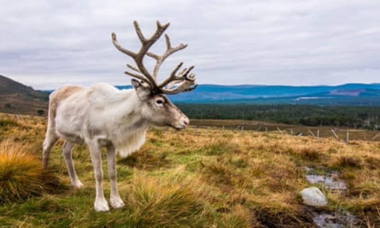 A Cairngorms reindeer