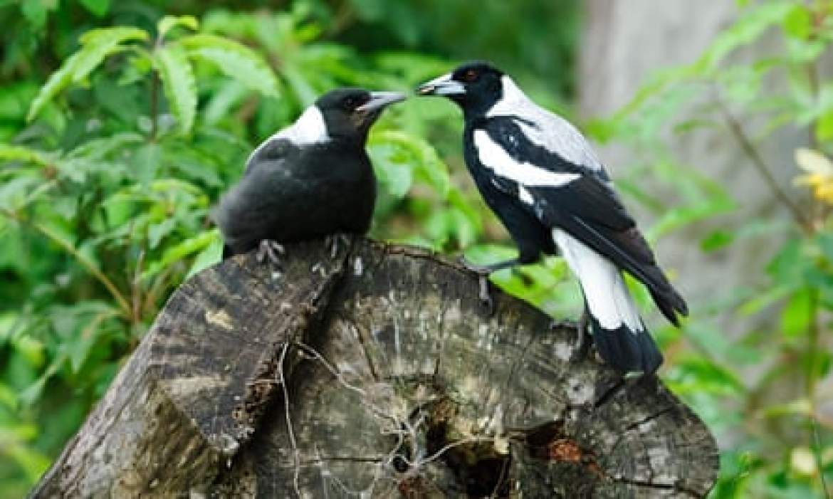 A magpie feeds its young.