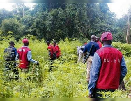 Image result for NDLEA discovers, destroys two hectares of cannabis' farms in Edo
