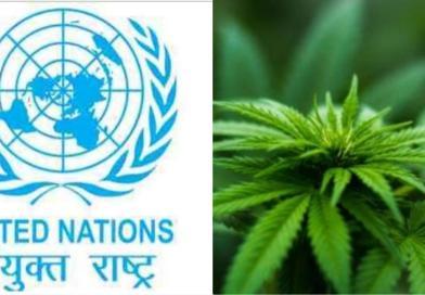 यूएन ने गांजे को ड्रग्स लिस्ट से हटाने का किया फैसला।