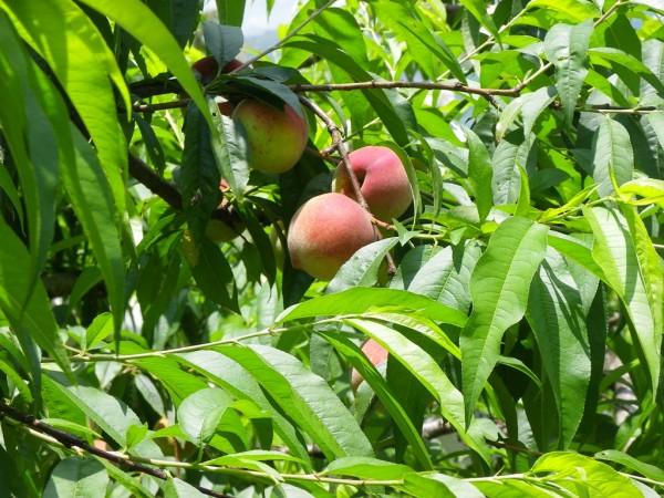 自然栽培水蜜桃紅肉李 直購送到家也歡迎現採 - 上下游News&Market新聞市集