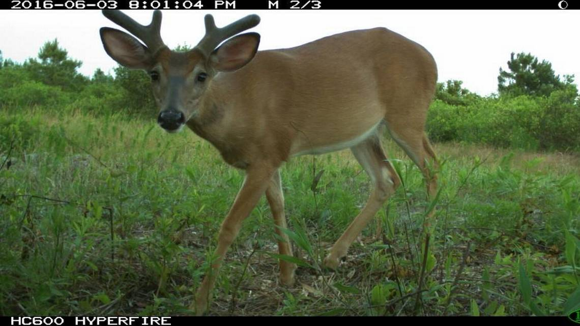 NC Candid Critter camera trap project captures NC wildlife  News  Observer