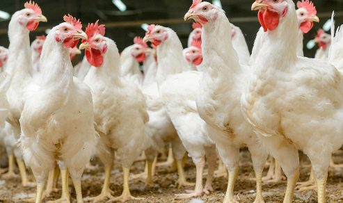 'Chicken May Sell For N10,000 This Christmas'