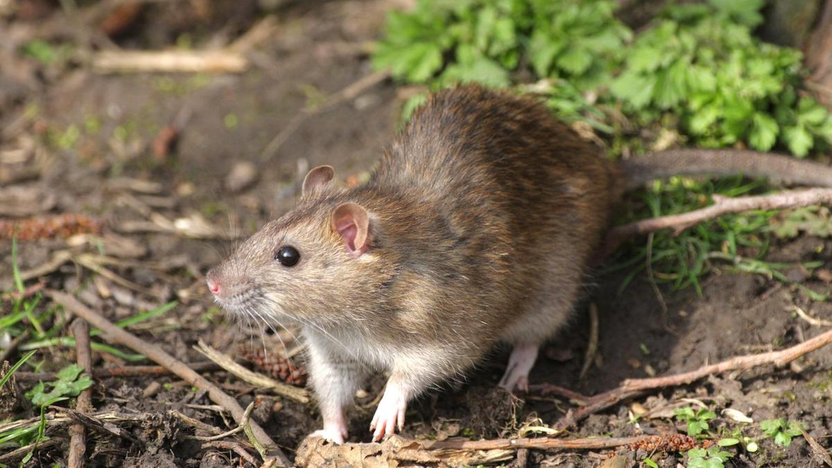 All You Need To Know About Hantavirus | News Share