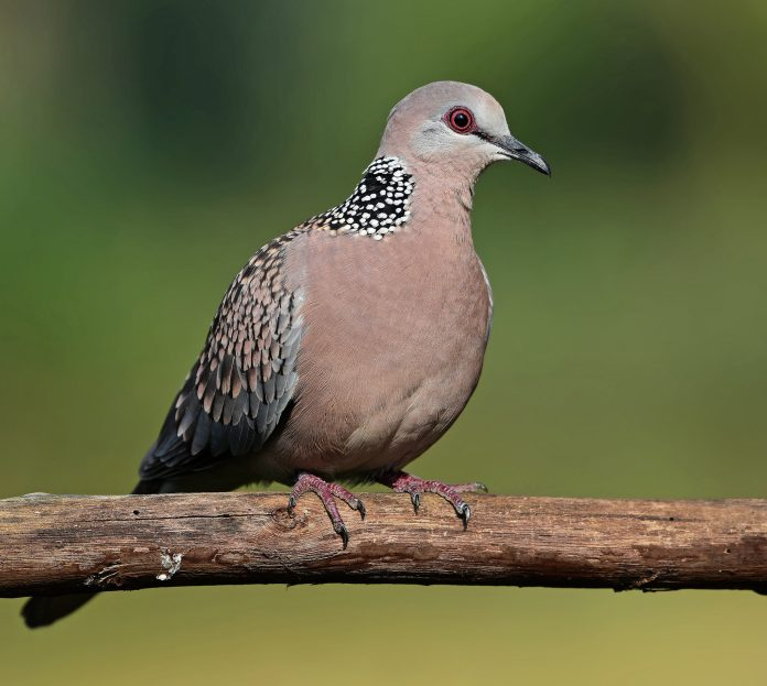 Uttarakhnadi bird Ghughuti