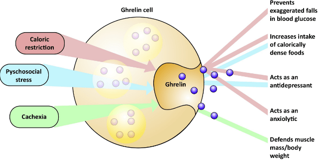 What Is Ghrelin - News On Health Living