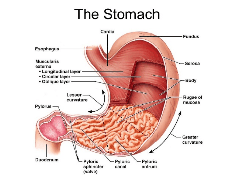 What Is Stomach Lining - News On Health Living