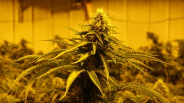 Usine de cannabis au Canada