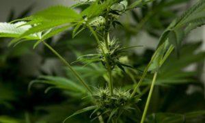 Cannabis médical en Europe