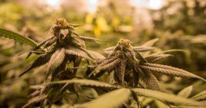 Rapport sur la légalisation du cannabis en France