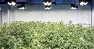 Fleurs de cannabis médical à New York
