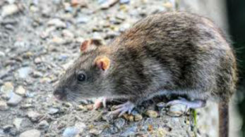 After coronavirus, hantavirus threat looms over China, 1 dead ...