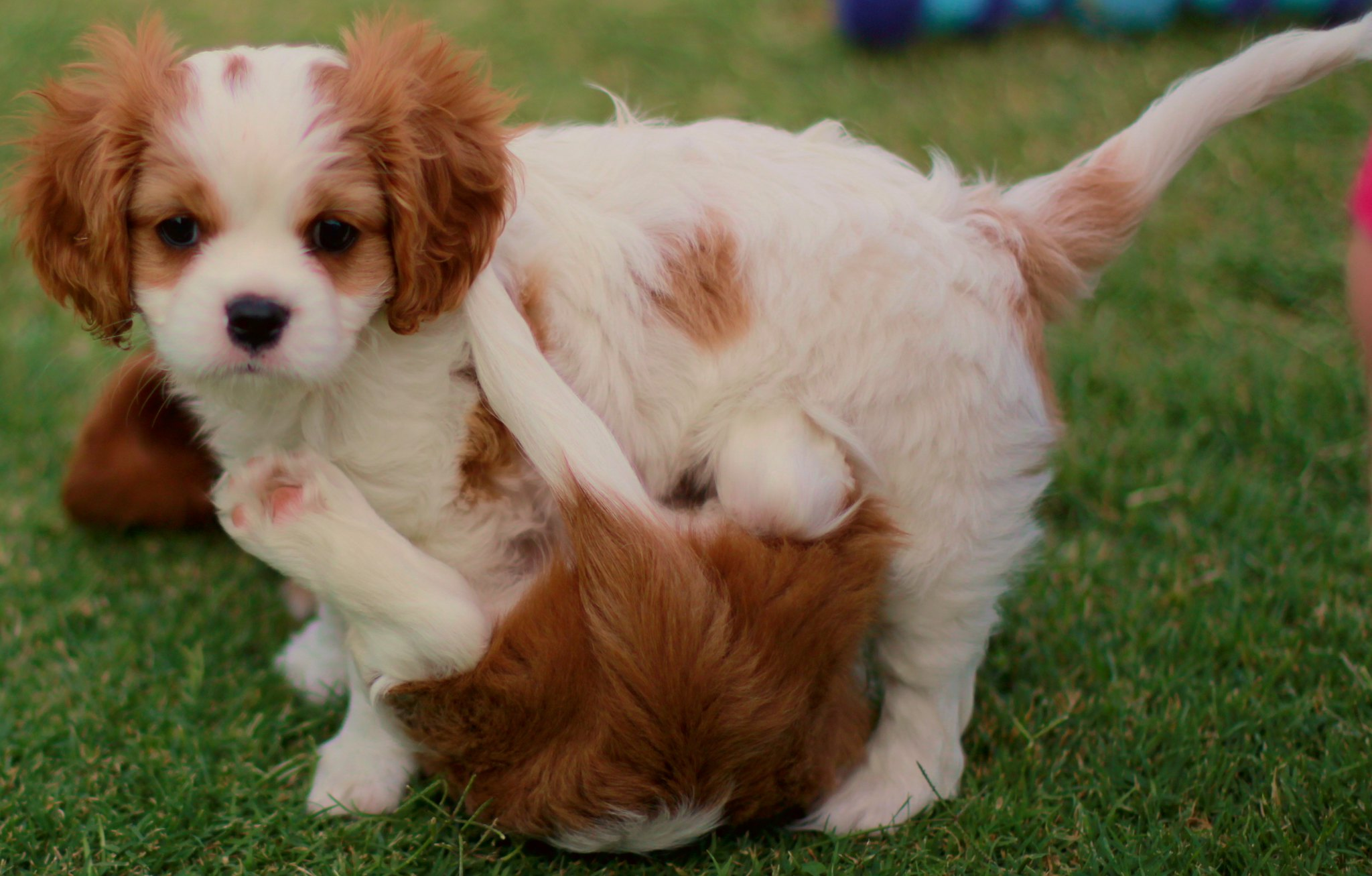 Why People Love Cavalier King Charles Spaniel Puppies