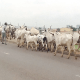 Squabbling over recovered cows, insecurity