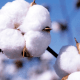 Cotton farmers receive improved seeds from RMRDC