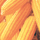 Climate-ready maize: Farmers get $3m boost