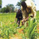 Nigeria's agric and the challenges