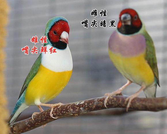 七彩文鳥:外形特徵,生活習性,人工飼養,人工繁殖,科學研究,種群現狀,保護級別,_中文百科全書
