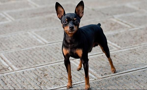 迷你杜賓犬:發展歷史,形態特徵,毛色特徵,步態特徵,飼養方法,優缺點,常見病護理,_中文百科全書