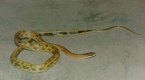 錦蛇:簡述,分布範圍,外形特徵,生活習性,生長繁殖,棲息環境,藥用價值,_中文百科全書