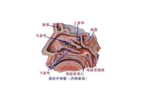 鼻腔:概述,鼻腔的解剖結構:,_中文百科全書