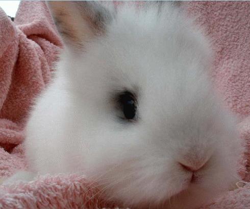 獅子兔:基本資料.簡介.飼養管理.如何選擇.注意事項._中文百科全書