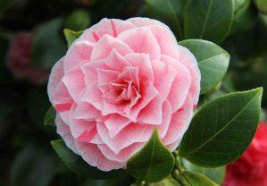 花團錦簇的茶花