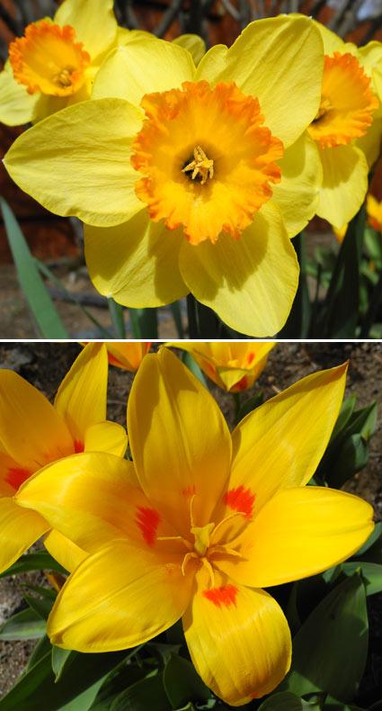 Spring flowers in Reno, Nevada, NV