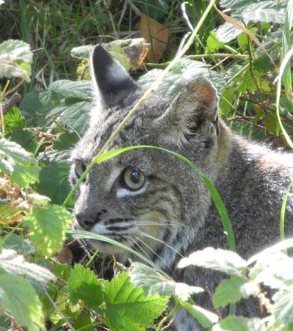 Bobcat at Pt. Reyes National Seashore, CA.