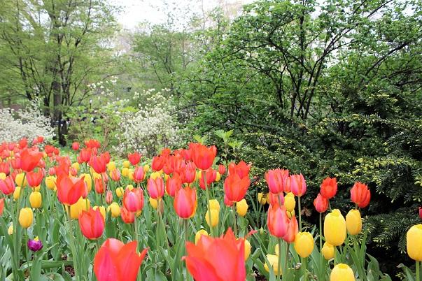 Tulip_Central_Park