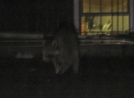 raccoon2