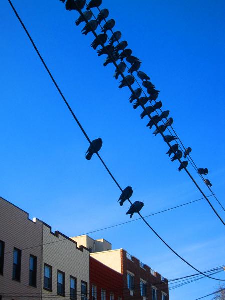 pigeons4