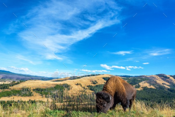 Buffalo Landscape View