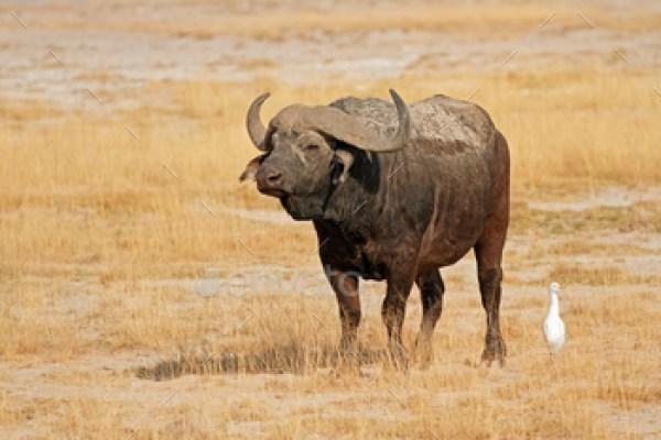 African buffalo - Amboseli National Park
