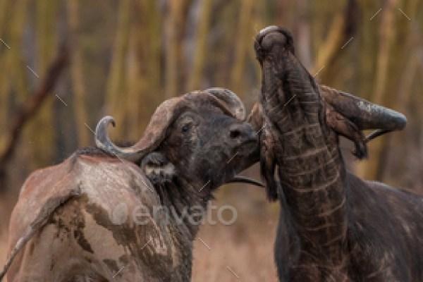 Wild African Cape Buffalo, kenya